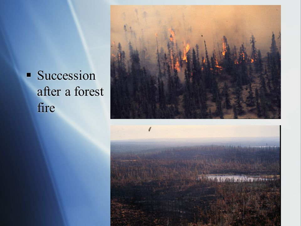 Succession after a forest fire