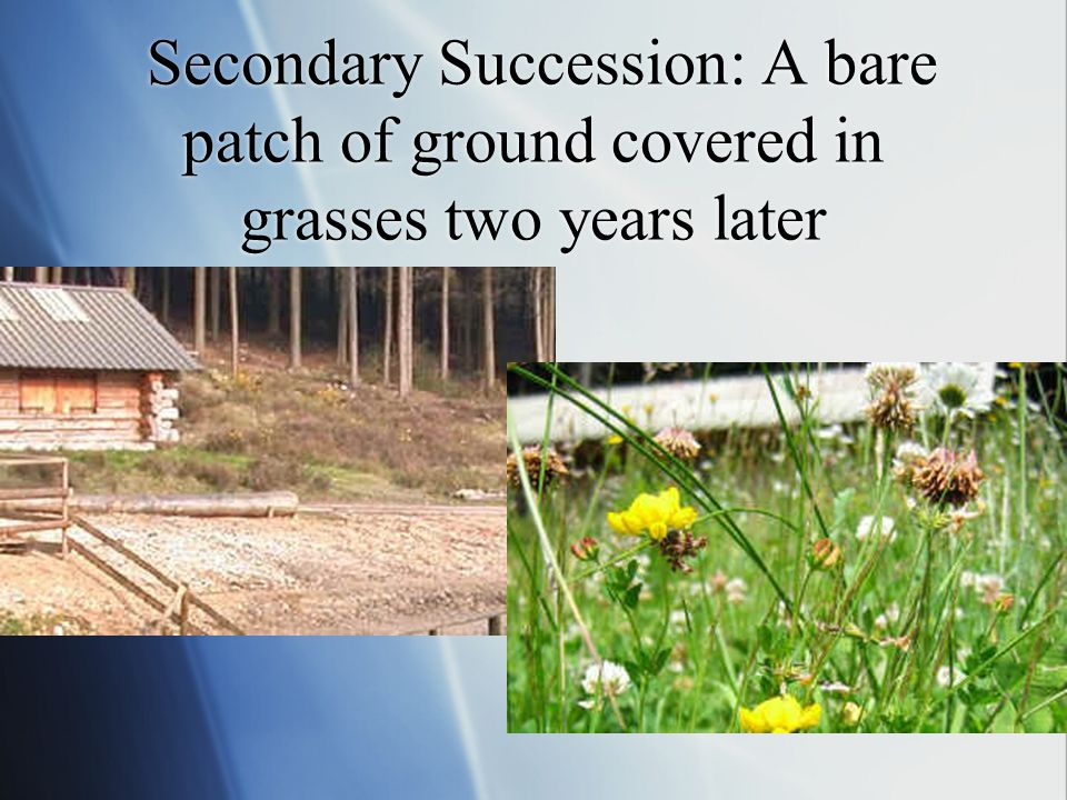 Secondary Succession: A bare patch of ground covered in grasses two years later
