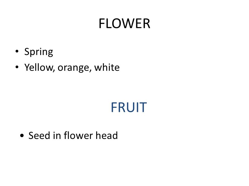 FLOWER Spring Yellow, orange, white FRUIT Seed in flower head