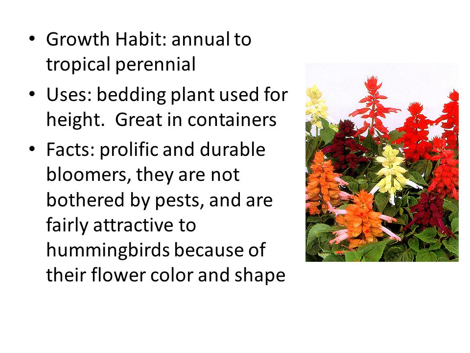 Growth Habit: annual to tropical perennial