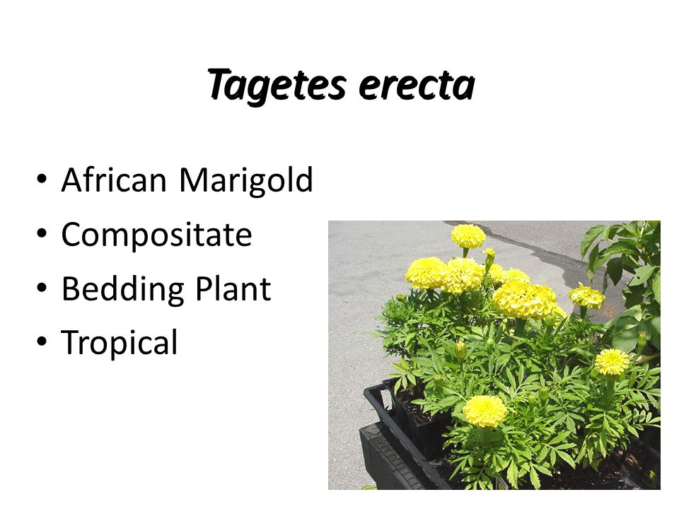 Tagetes erecta African Marigold Compositate Bedding Plant Tropical