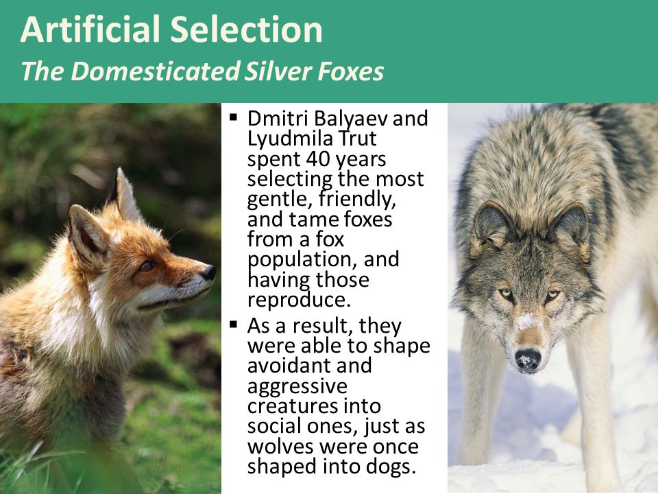 Artificial Selection The Domesticated Silver Foxes