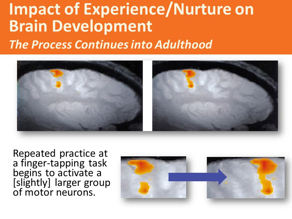 Impact of Experience/Nurture on Brain Development The Process Continues into Adulthood