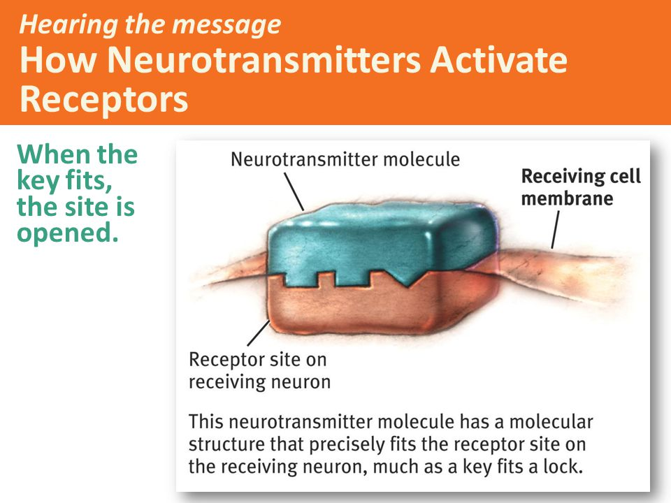 Hearing the message How Neurotransmitters Activate Receptors