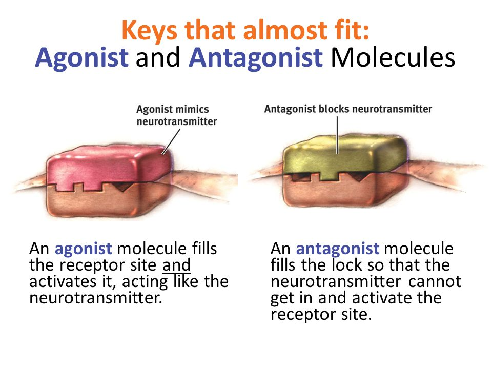 Keys that almost fit: Agonist and Antagonist Molecules