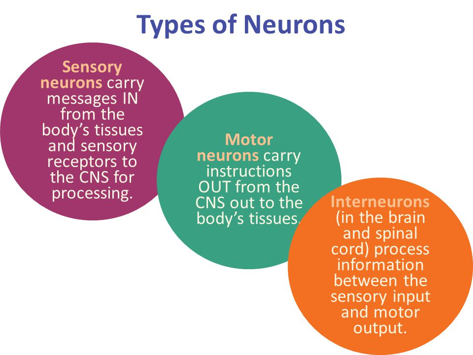 Types of Neurons Sensory neurons carry messages IN from the body's tissues and sensory receptors to the CNS for processing.