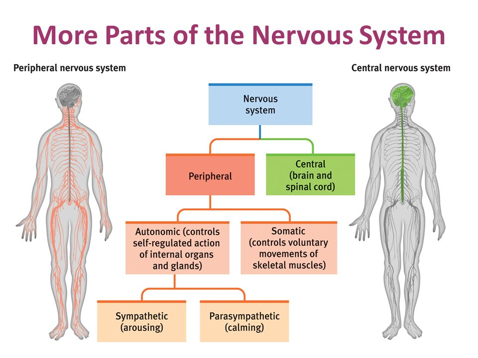 More Parts of the Nervous System