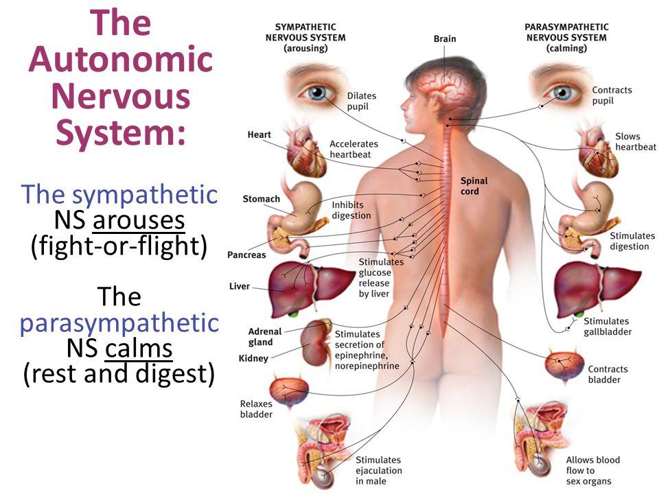 The Autonomic Nervous System: