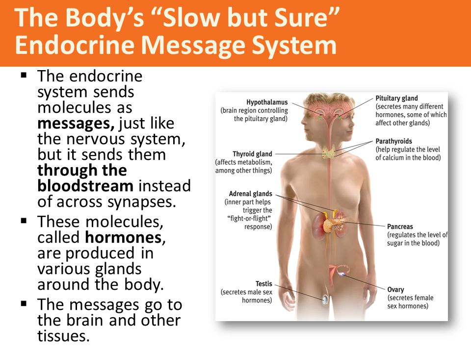 The Body's Slow but Sure Endocrine Message System