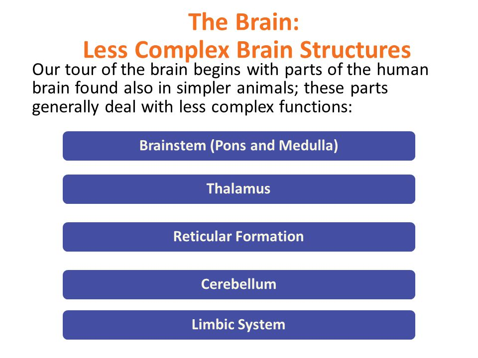 The Brain: Less Complex Brain Structures