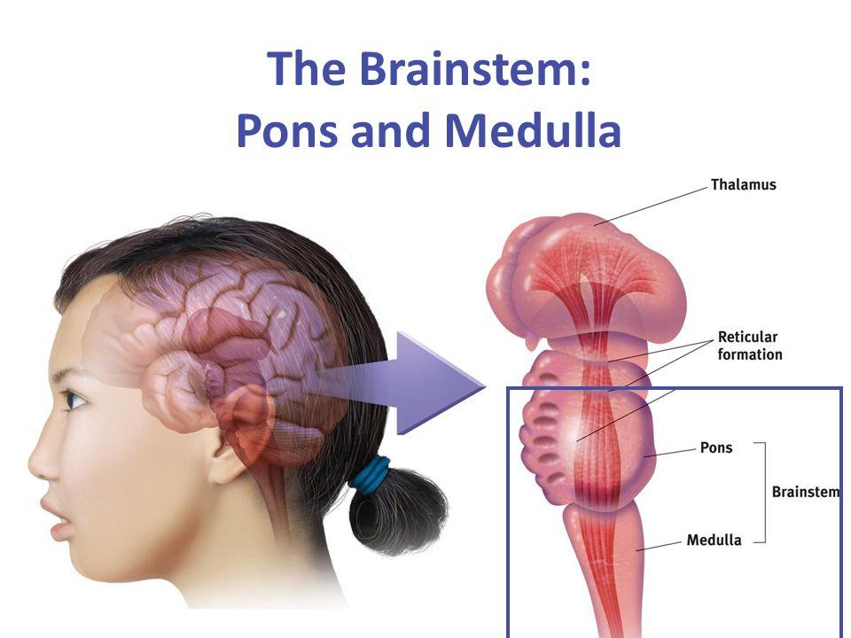 The Brainstem: Pons and Medulla