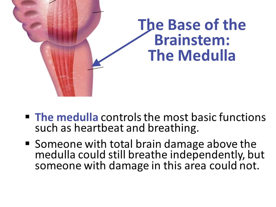 The Base of the Brainstem: The Medulla