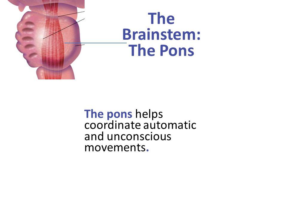 The Brainstem: The Pons