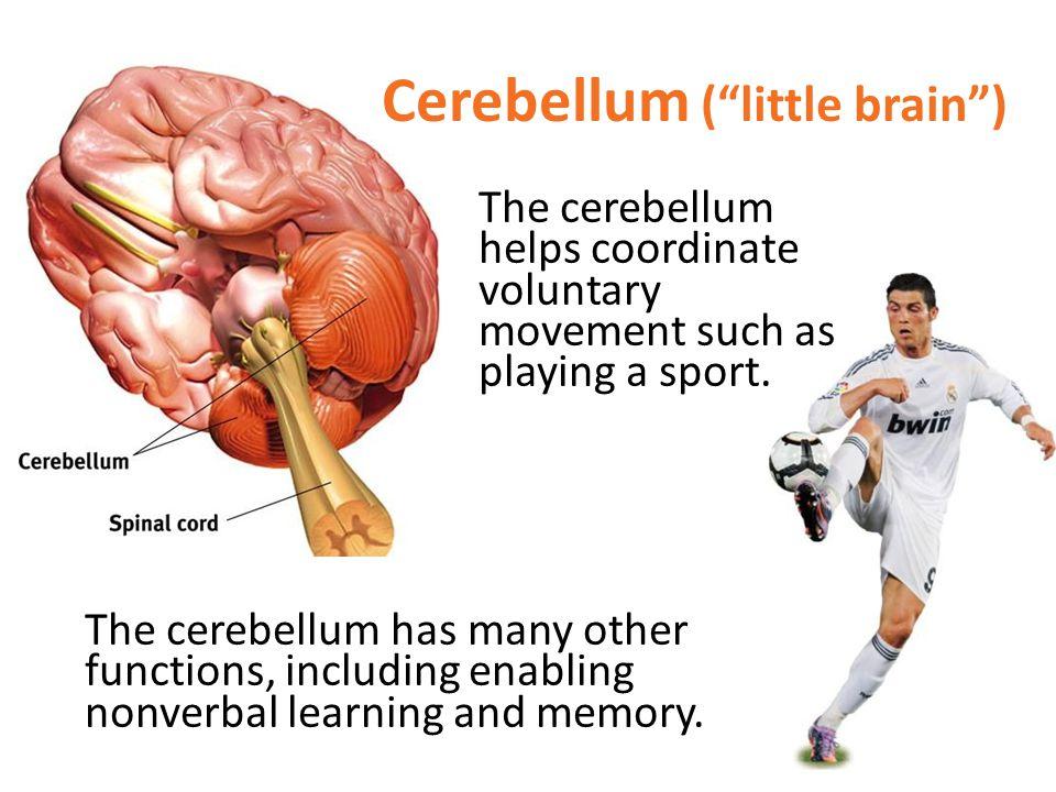 Cerebellum ( little brain )
