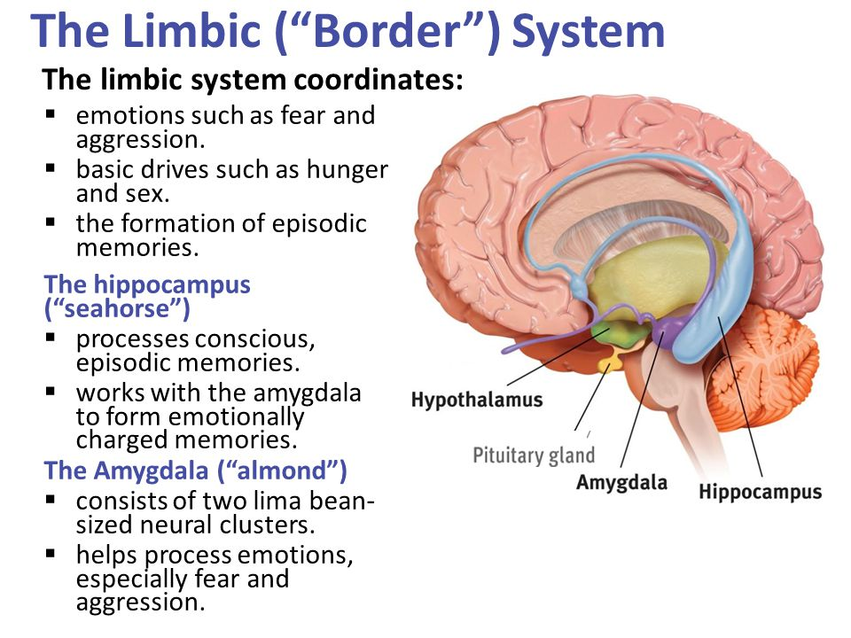 The Limbic ( Border ) System The limbic system coordinates: