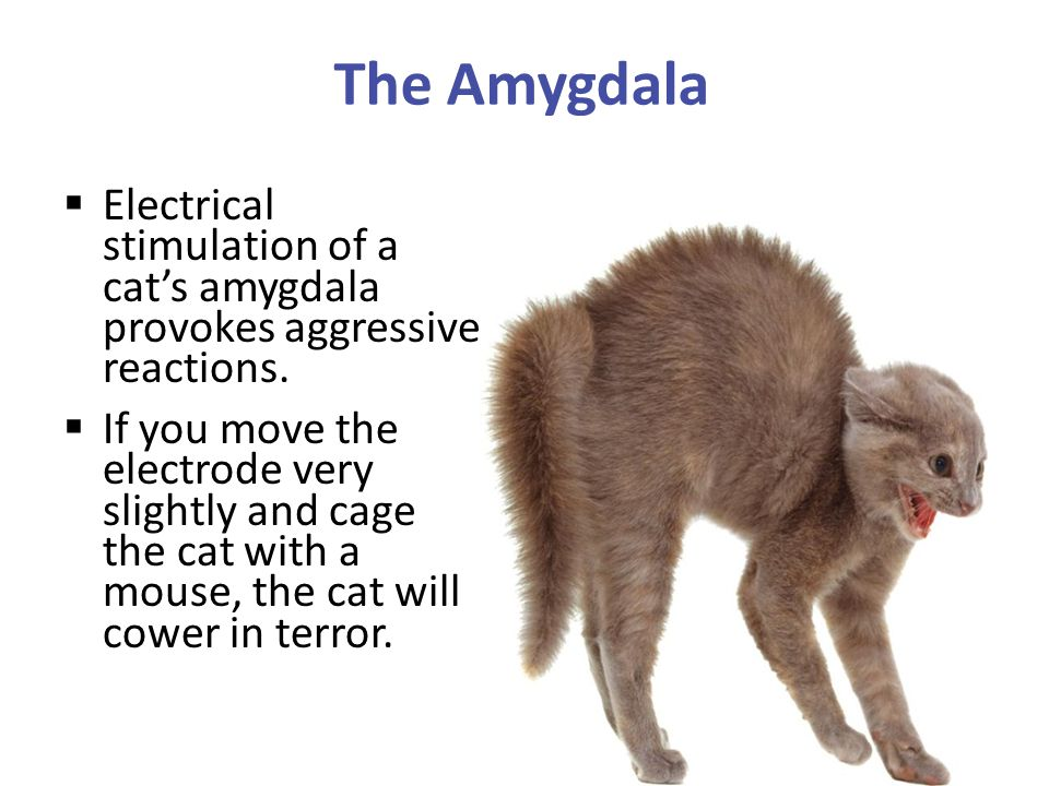 The Amygdala Electrical stimulation of a cat's amygdala provokes aggressive reactions.