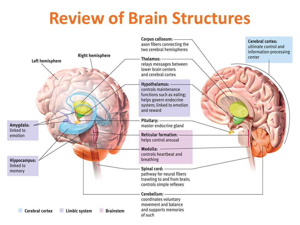 Review of Brain Structures