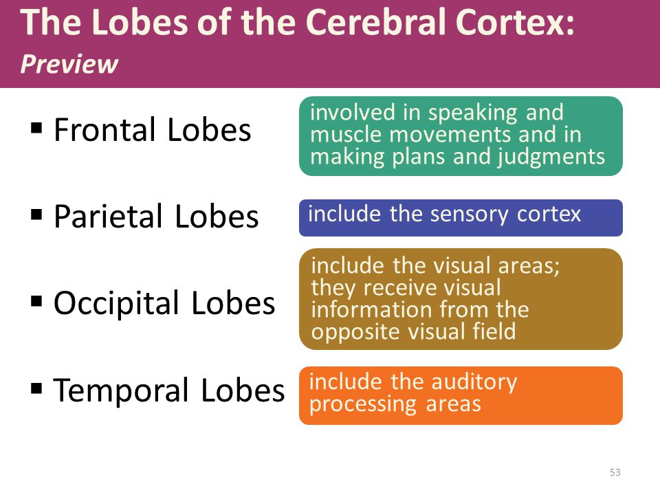 The Lobes of the Cerebral Cortex: Preview