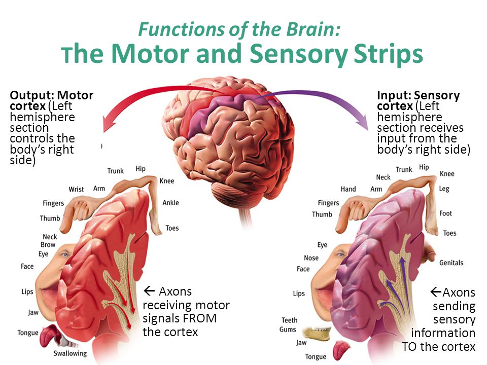 Functions of the Brain: The Motor and Sensory Strips