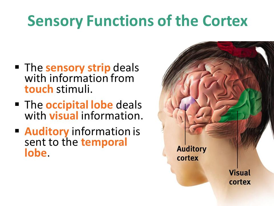 Sensory Functions of the Cortex