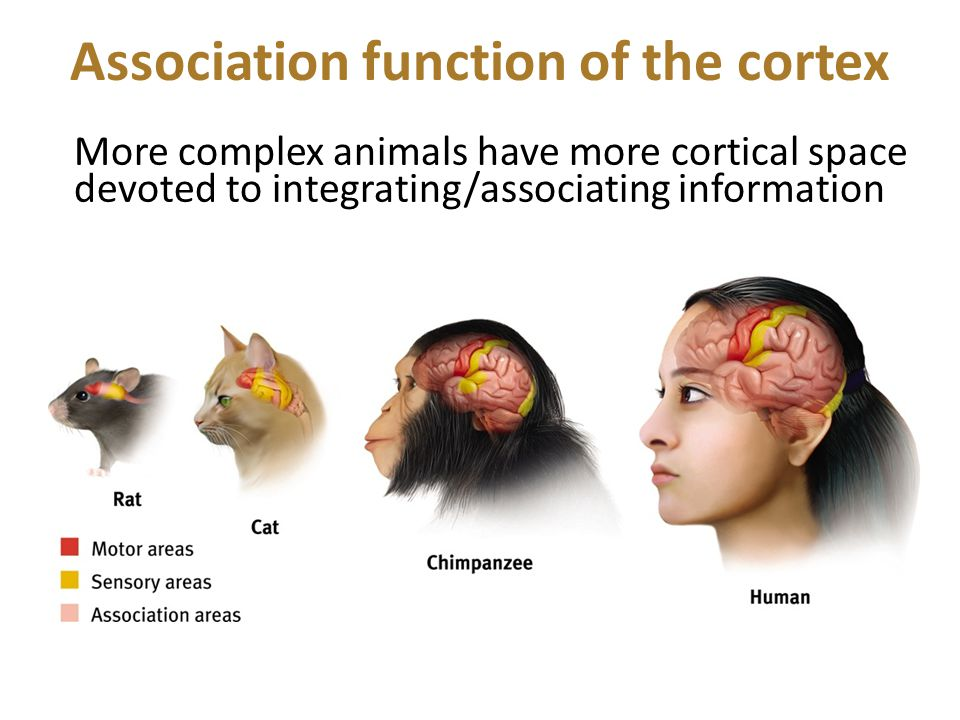 Association function of the cortex