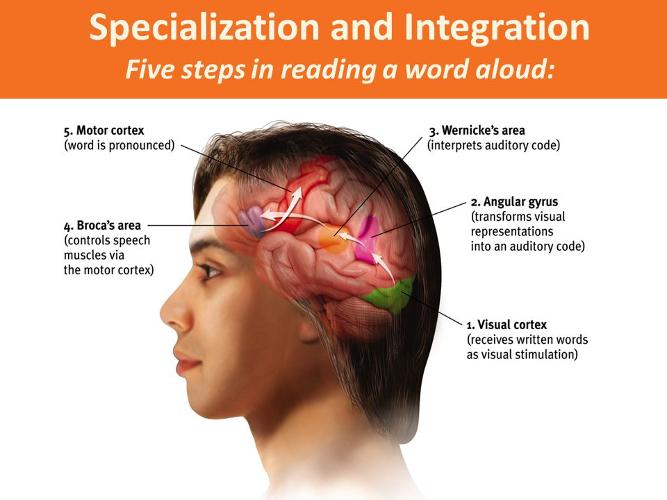 Specialization and Integration Five steps in reading a word aloud: