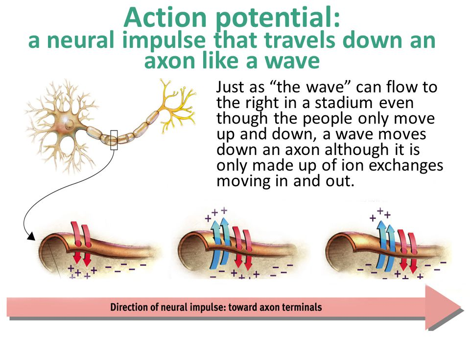 Action potential: a neural impulse that travels down an axon like a wave