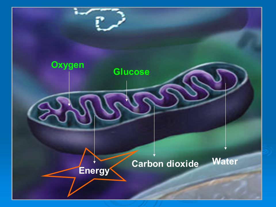 Oxygen Glucose Water Carbon dioxide Energy