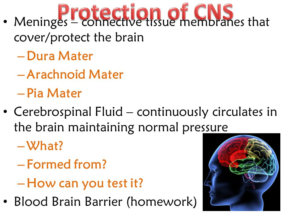 Protection of CNS Meninges – connective tissue membranes that cover/protect the brain. Dura Mater.
