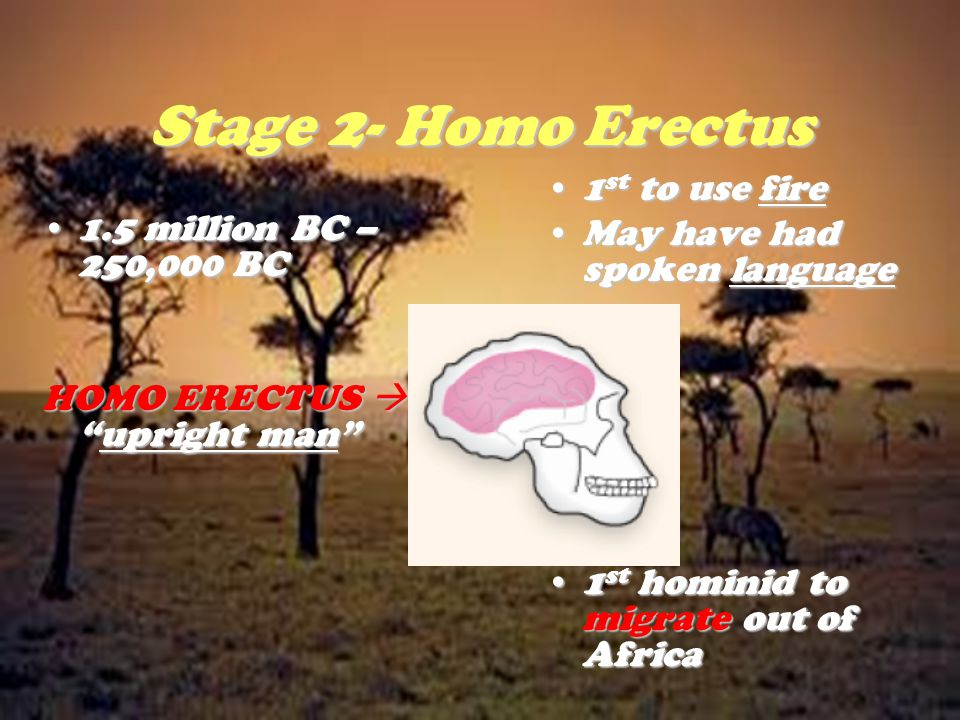 Stage 2- Homo Erectus 1st to use fire May have had spoken language