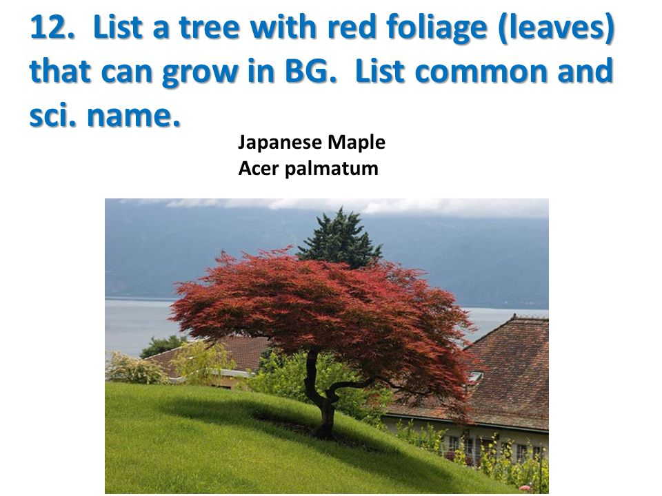 12. List a tree with red foliage (leaves) that can grow in BG