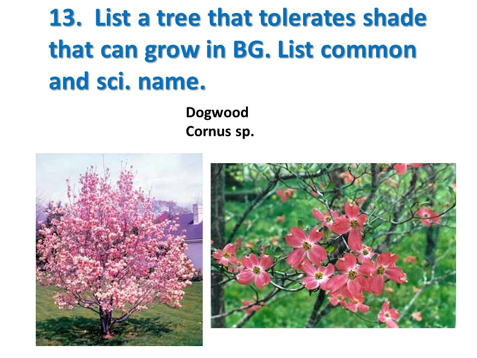 13. List a tree that tolerates shade that can grow in BG