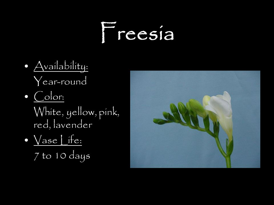 Freesia Availability: Year-round Color: