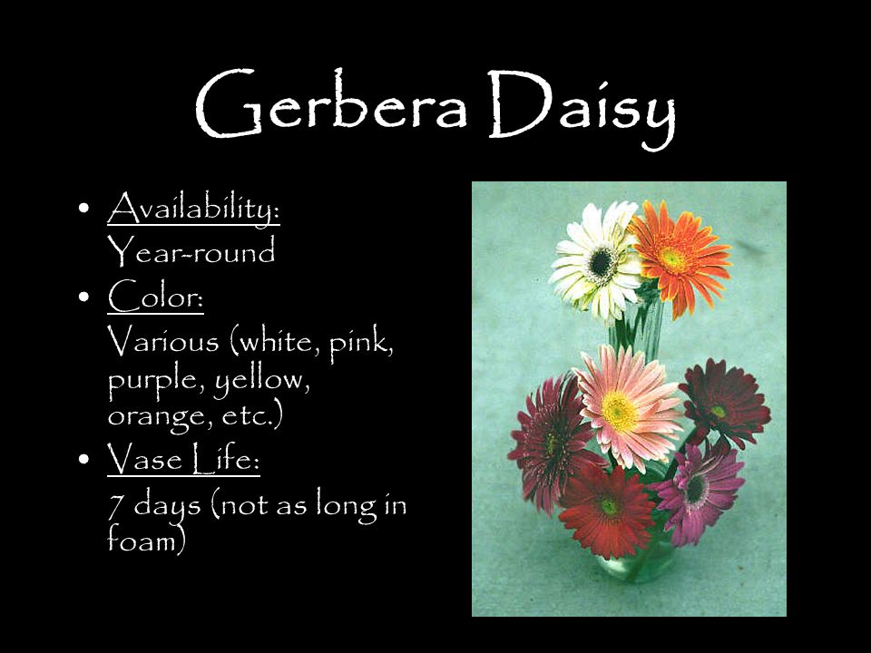 Gerbera Daisy Availability: Year-round Color: