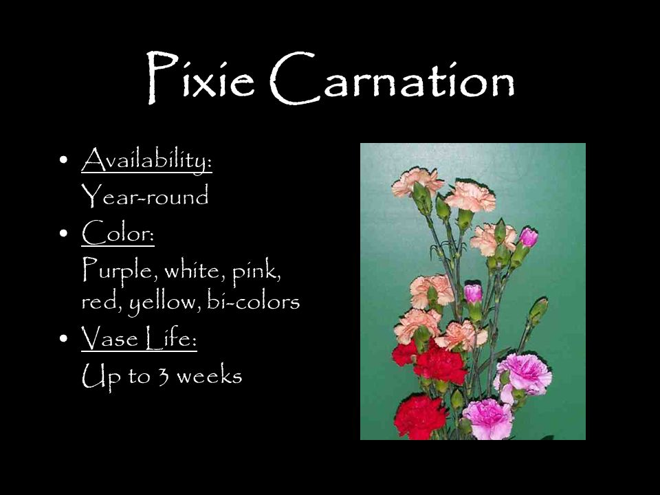 Pixie Carnation Availability: Year-round Color:
