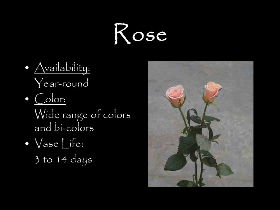 Rose Availability: Year-round Color: