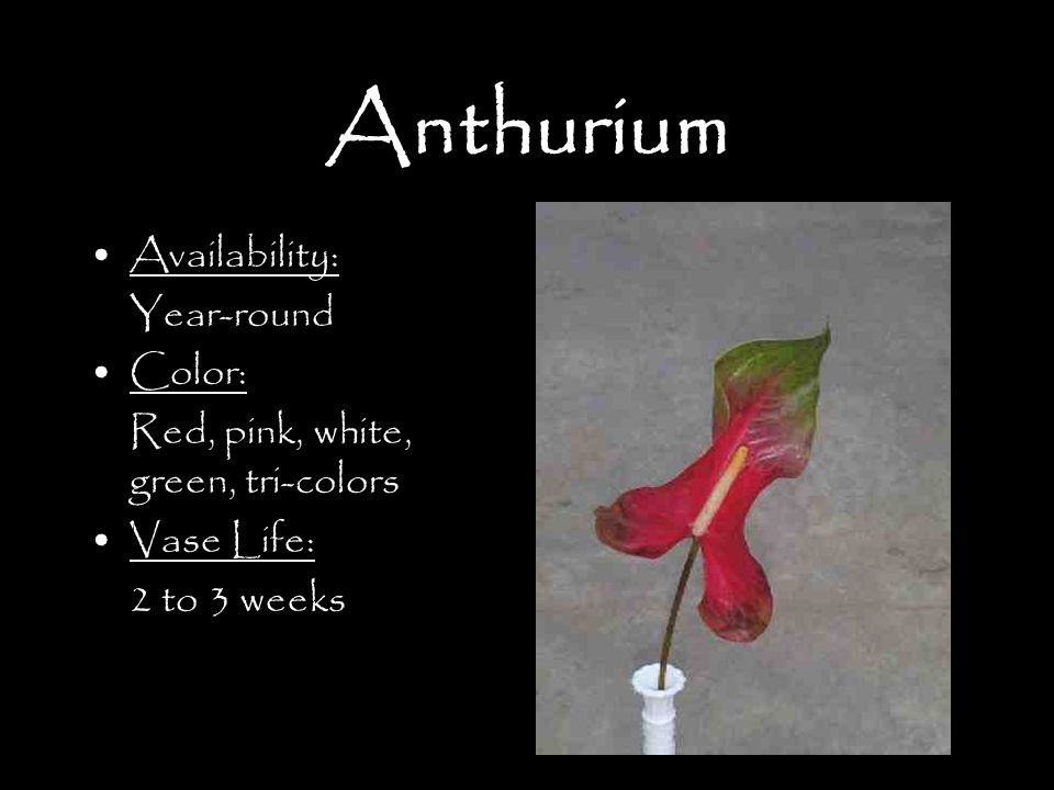 Anthurium Availability: Year-round Color: