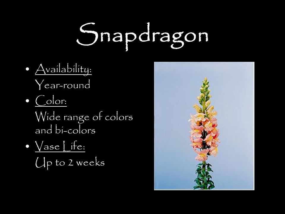 Snapdragon Availability: Year-round Color: