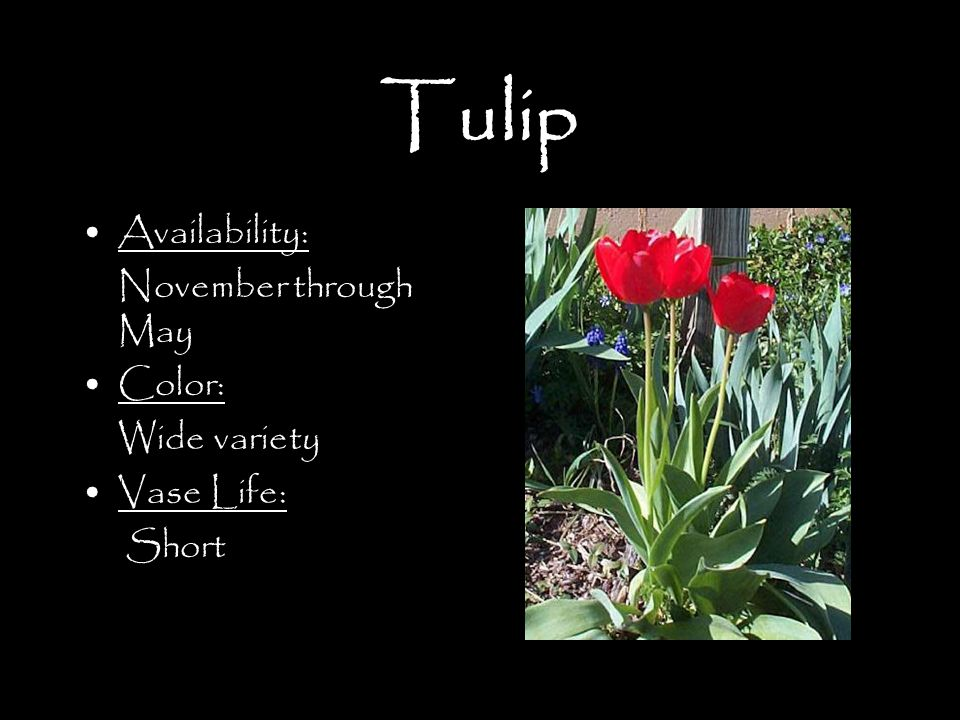 Tulip Availability: November through May Color: Wide variety