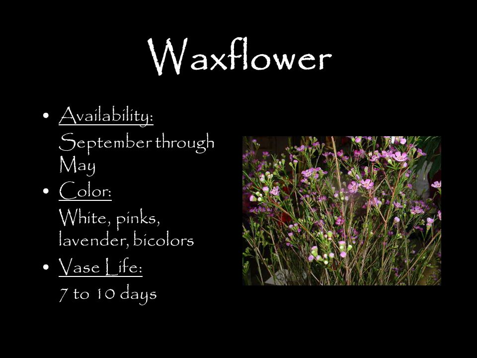 Waxflower Availability: September through May Color: