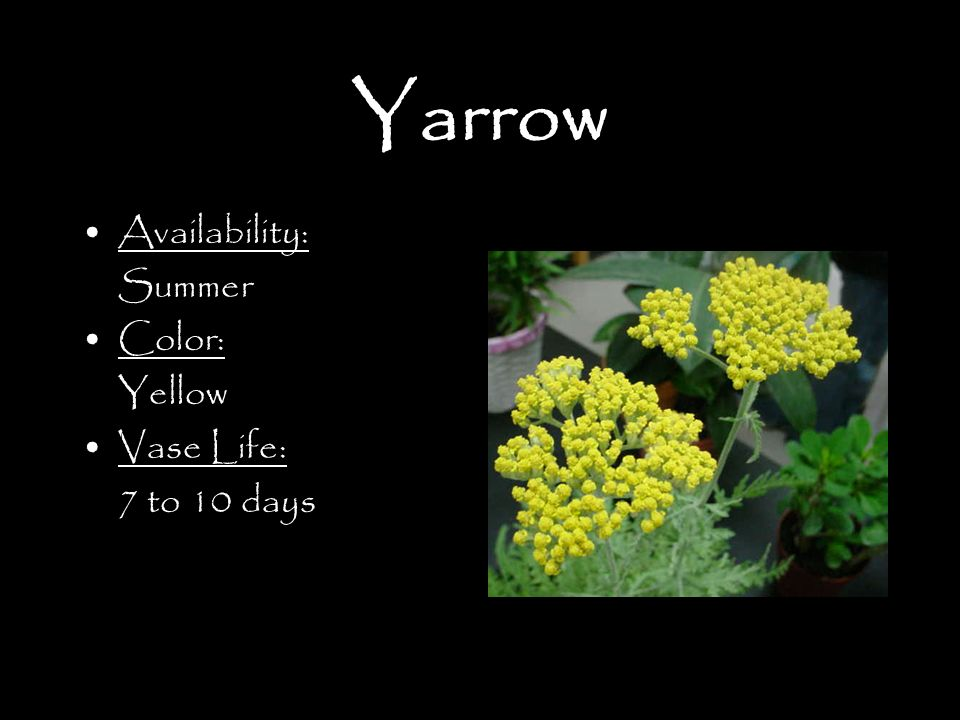 Yarrow Availability: Summer Color: Yellow Vase Life: 7 to 10 days