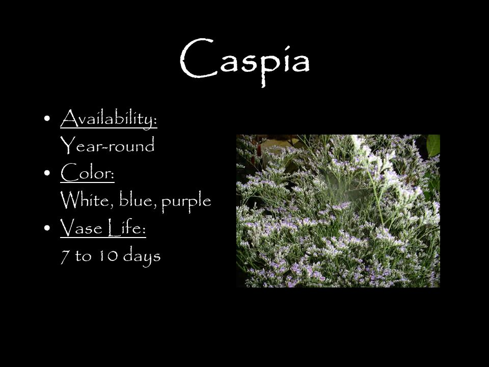 Caspia Availability: Year-round Color: White, blue, purple Vase Life: