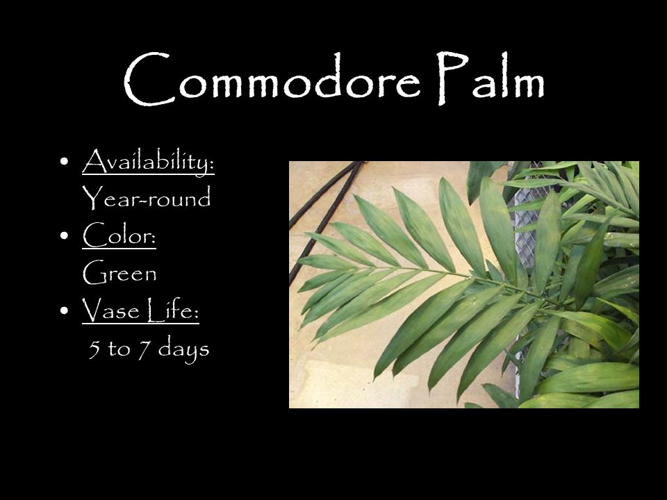 Commodore Palm Availability: Year-round Color: Green Vase Life: