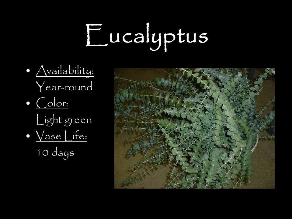 Eucalyptus Availability: Year-round Color: Light green Vase Life: