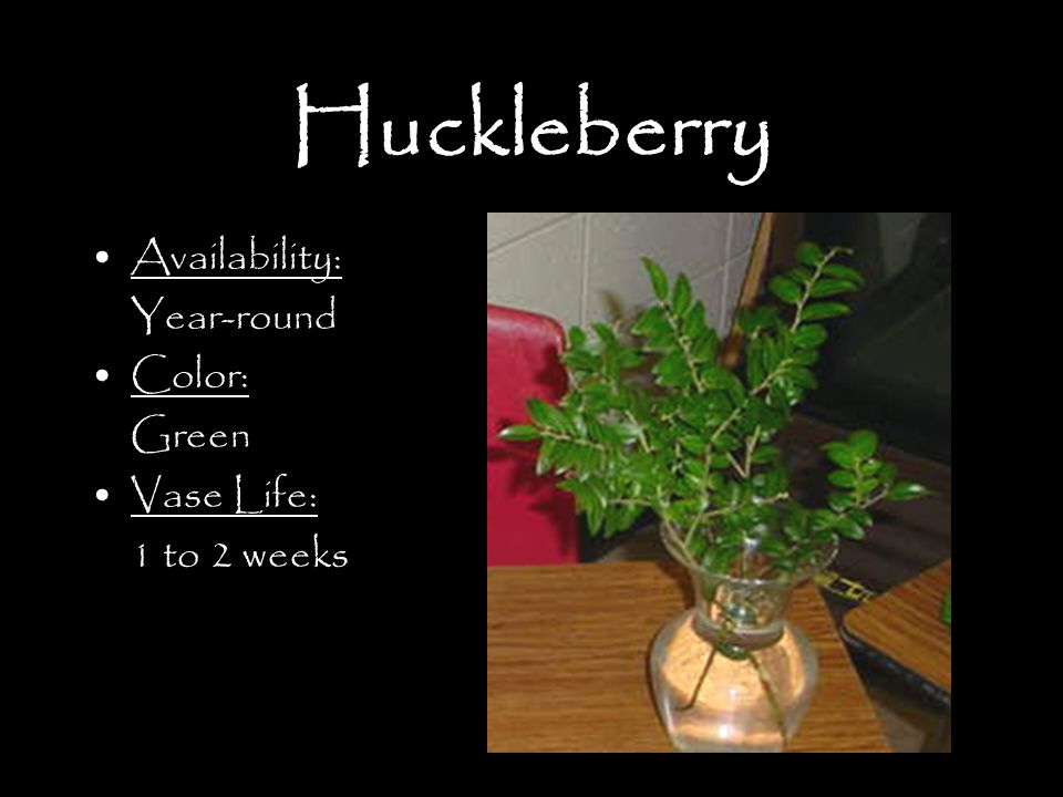 Huckleberry Availability: Year-round Color: Green Vase Life: