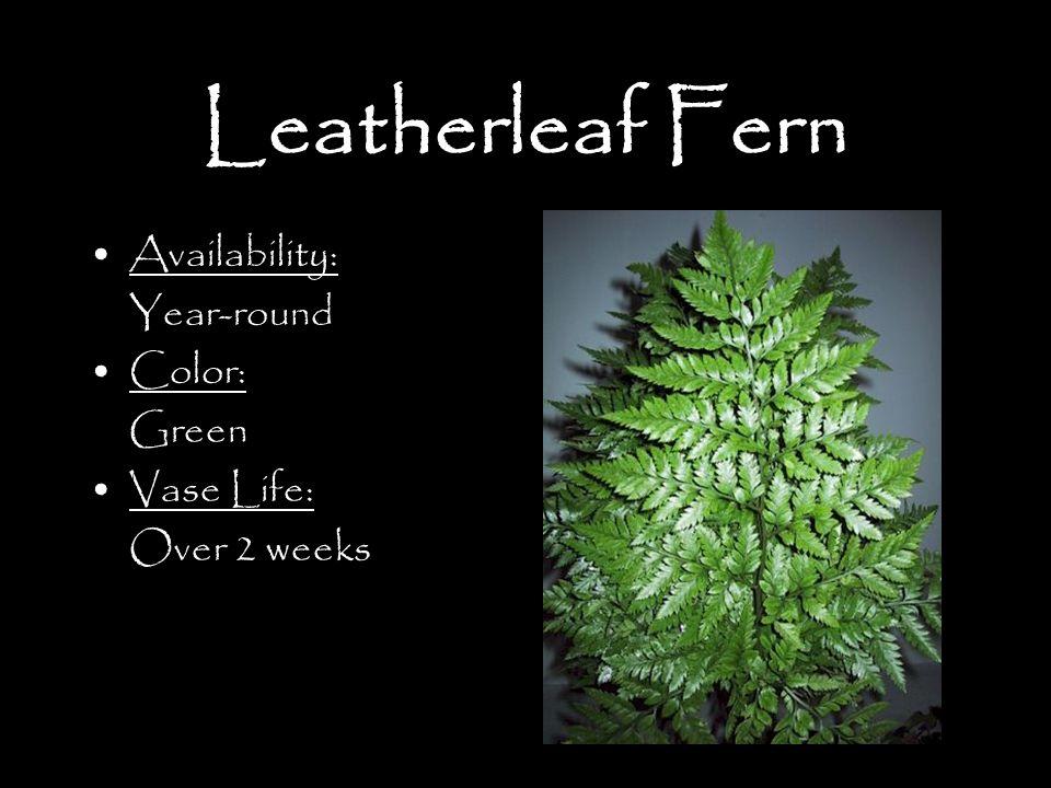 Leatherleaf Fern Availability: Year-round Color: Green Vase Life: