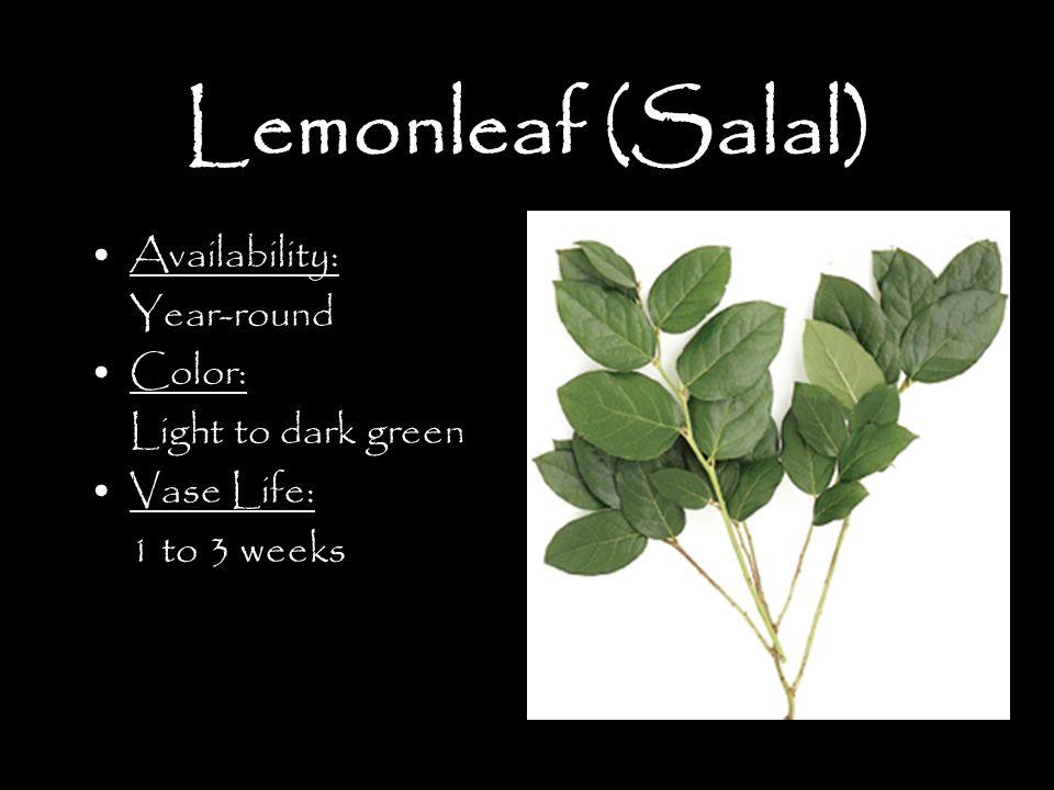 Lemonleaf (Salal) Availability: Year-round Color: Light to dark green