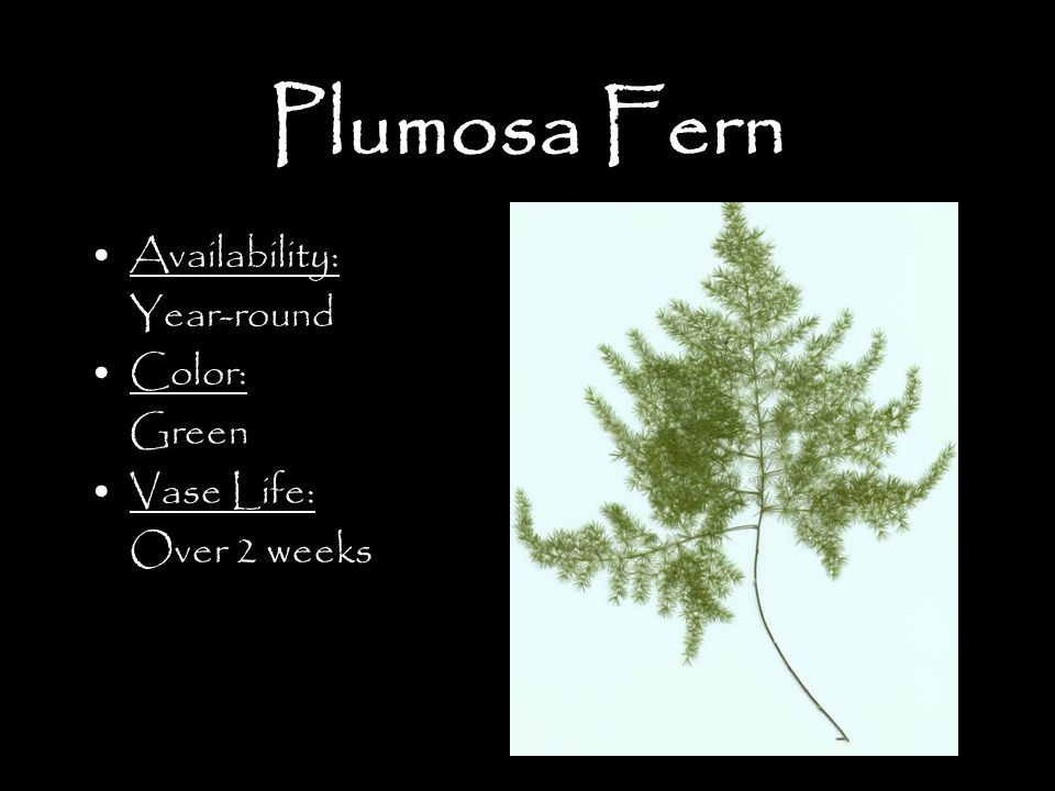 Plumosa Fern Availability: Year-round Color: Green Vase Life: