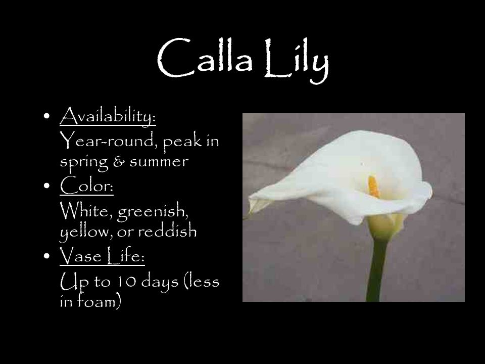 Calla Lily Availability: Year-round, peak in spring & summer Color: