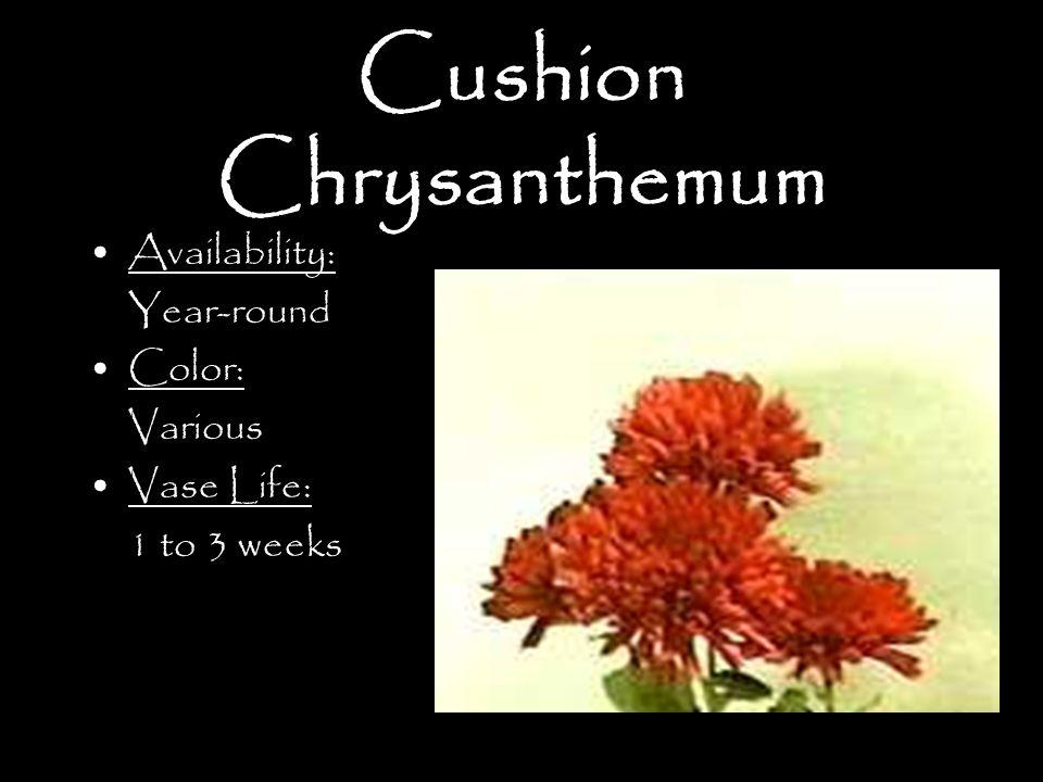 Cushion Chrysanthemum